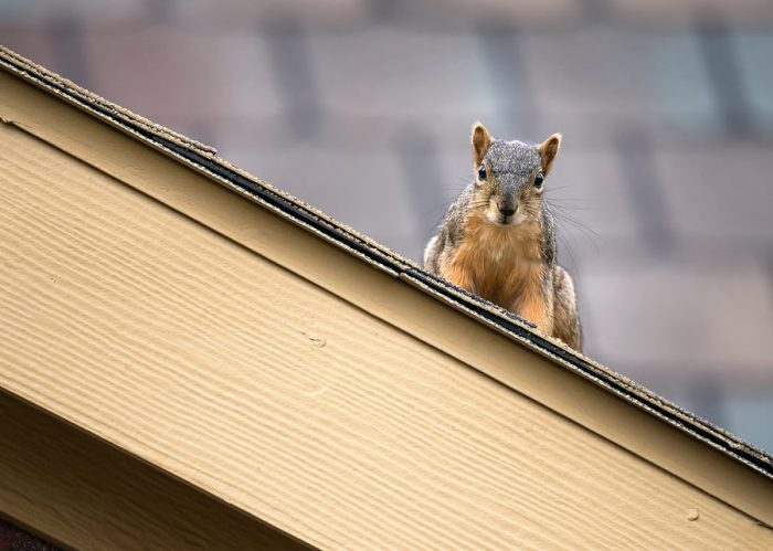 Protect Roof From Critters